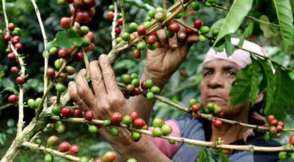 guatemala entre os maiores paises produtores de cafe do mundo
