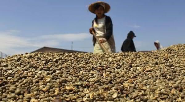 indonesia entre os maiores produtores de cafes do mundo
