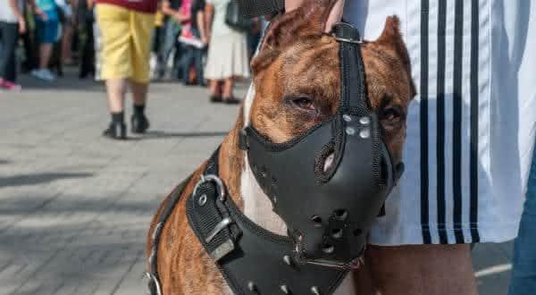 responsabilidade entre os fatos equivocados sobre pitbulls