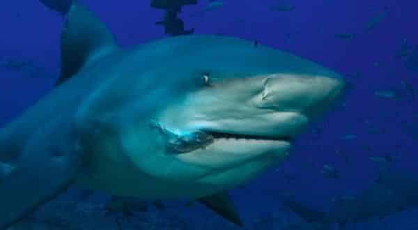 tubarao cabeca chata entre os peixes mais perigosos do mundo