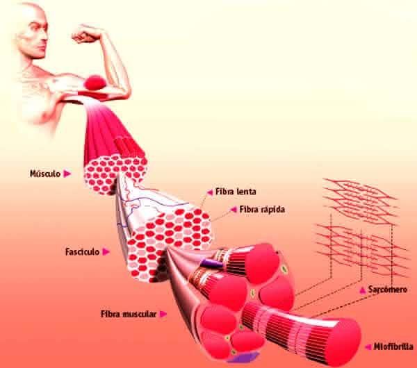 fibra fatos interessantes sobre o sistema muscular