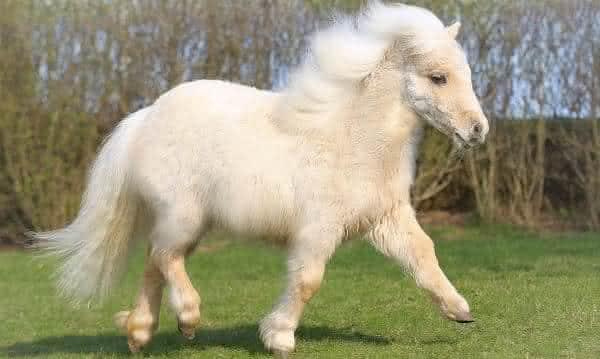 Shetland Pony  entre as racas de cavalos mais caras do mundo