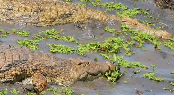 crocodilo entre os animais que podem sobreviver mais tempo sem se alimentar