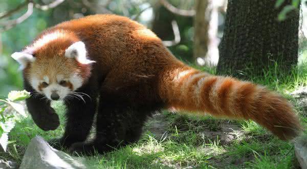 The Red Panda entre os estranhos animais que voce nao sabia que existiam