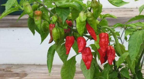 Naga Morich  entre as pimentas mais fortes do mundo