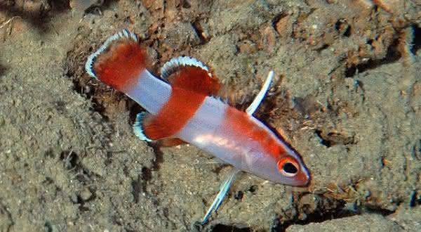 bladefin entre os peixes mais caros do mundo