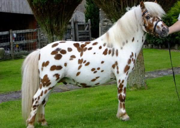 British Spotted Pony entre as racas de cavalos mais bonitas do mundo