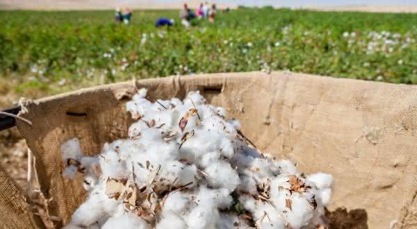 argentina entre os maiores paises produtores de algodao do mundo