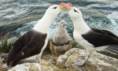 Albatroz entre os animais que possuem um companheiro para a vida toda