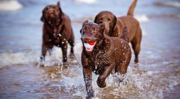 Labrador Retriever entre as melhores racas de caes de caca