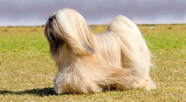 Top 10 raças de cães com maior longevidade do mundo