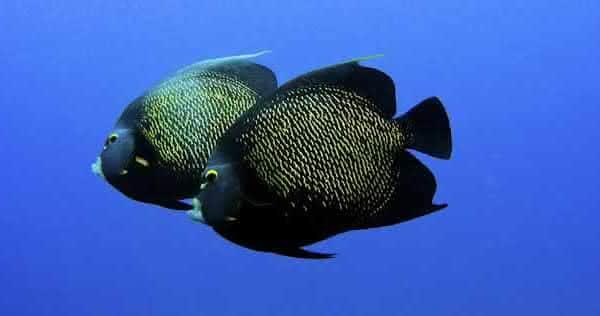 Peixe-Frade entre os animais que possuem um companheiro para a vida toda