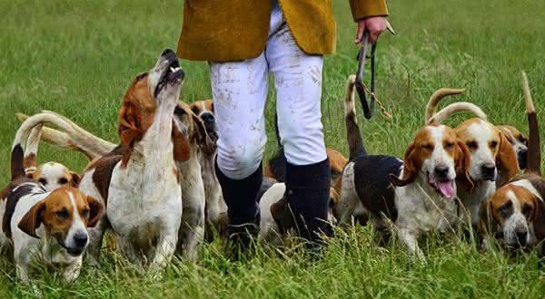beagle entre as melhores racas de caes de caca