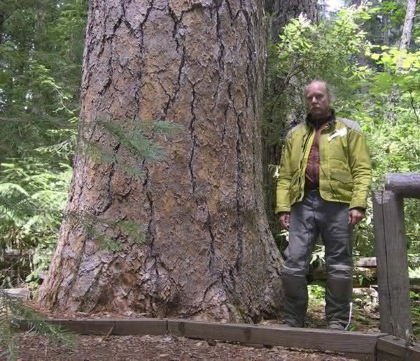 Pinus Ponderosa entre as arvores mais altas do mundo