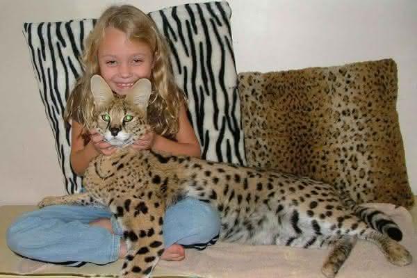 Savannah entre as maiores racas de gatos do mundo