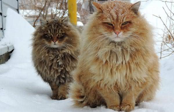 Siberiano entre as maiores racas de gatos do mundo