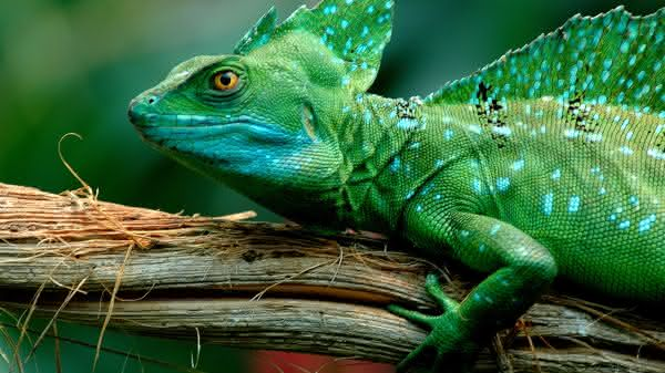 camaleao entre os animais com vida mais curta do mundo