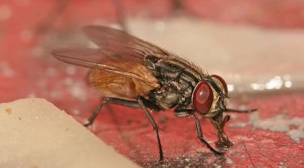 moscas entre os animais com vida mais curta do mundo
