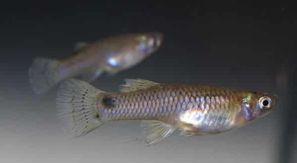 peixe mosquito entre os animais com vida mais curta do mundo