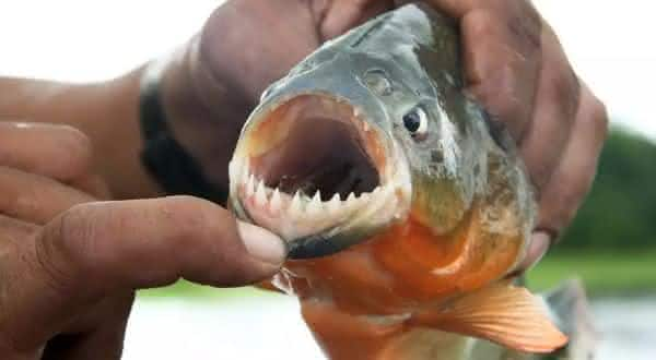 piranha entre as criaturas mais mortais da amazônia