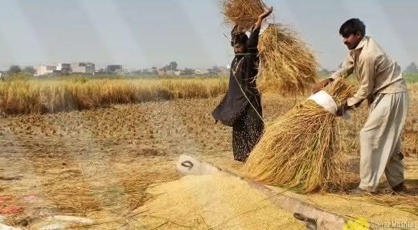 paquistao entre os maiores exportadores de arroz do mundo