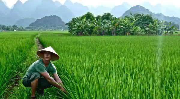 vietna entre os maiores exportadores de arroz do mundo