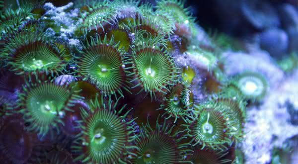 Coral Palythoa entre os animais que voce nao sabia que eram venenosos