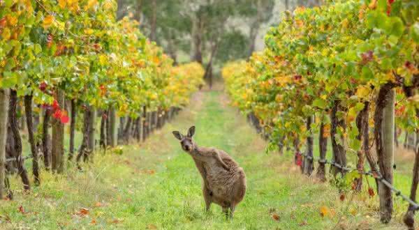 australia entre os maiores exportadores de vinhos do mundo