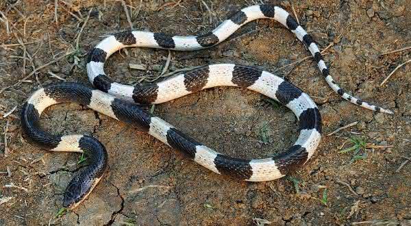 Blue krait entre as cobras mais mortais do mundo