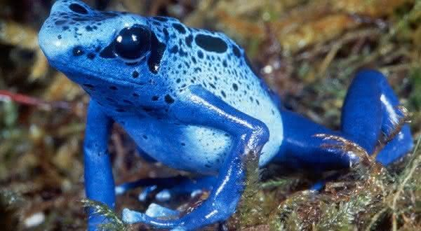 Dendrobates azureus entre as especies de sapos mais venenosos do mundo