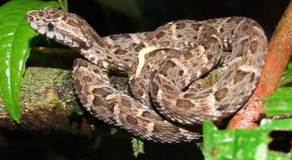 Jararaca-do-norte entre as cobras mais mortais do mundo