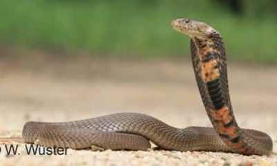 Mozambique spitting cobra entre as cobras mais mortais do mundo