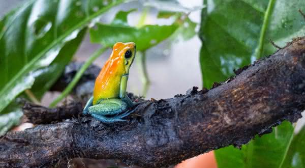 Phyllobates bicolor entre as espécies de sapos mais venenosos do mundo