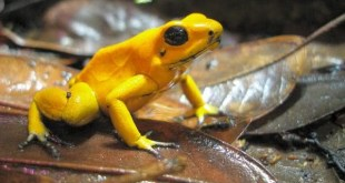 Phyllobates terribilis entre as especies de sapos mais venenosos do mundo