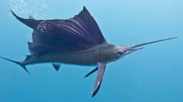 Istiophorus entre os peixes mais rapidos dos oceanos e mares