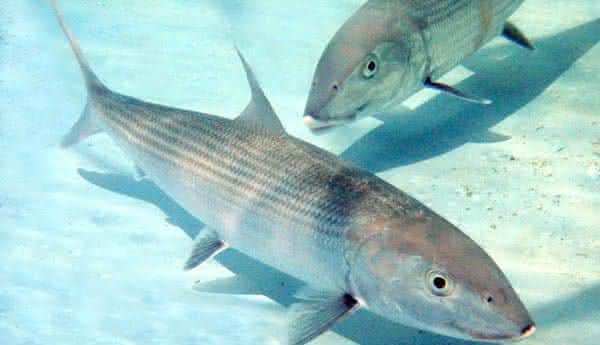 Juruna entre os peixes mais rapidos dos oceanos e mares