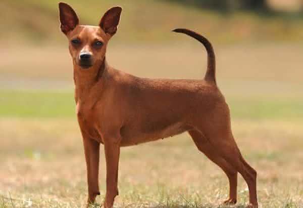 Pinscher entre as raças de cachorros mais populares do brasil