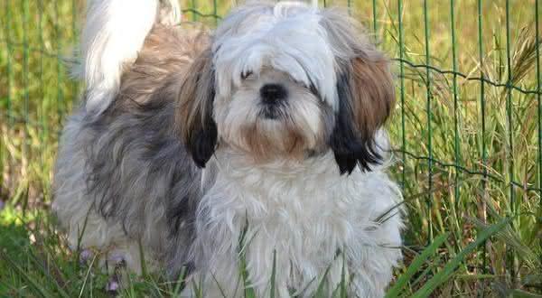 Shih Tzu entre as racas de cachorros mais populares do brasil