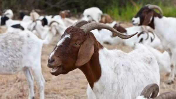 cabras entre as maiores populacoes de mamiferos do mundo
