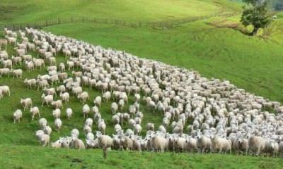 ovelhas entre as maiores populacoes de mamiferos do mundo