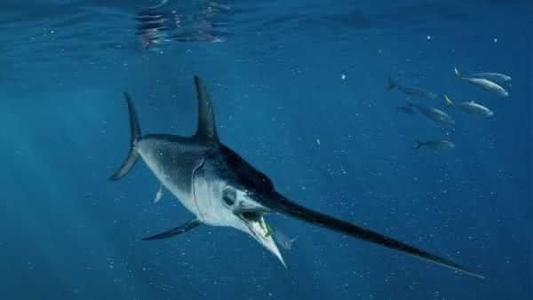 peixe espada entre os peixes mais rapidos dos oceanos e mares