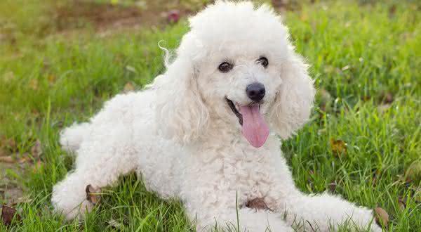 poodle entre as racas de cães mais populares do brasil