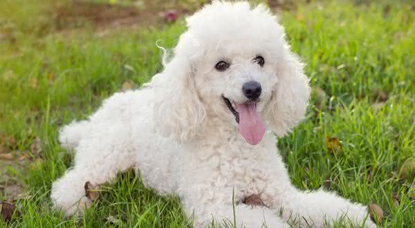 poodle entre as racas de cães mais populares do brasil