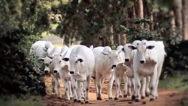 vacas entre as maiores populacoes de mamiferos do mundo