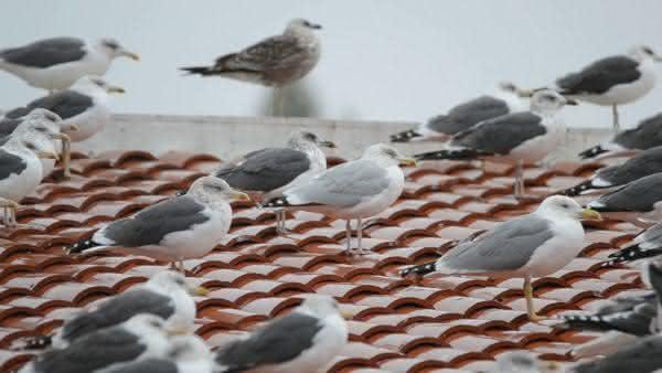 Gaivota Prateada entre as aves mais perigosas do mundo