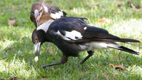 Gymnorhina Tibicen entre as aves mais perigosas do mundo