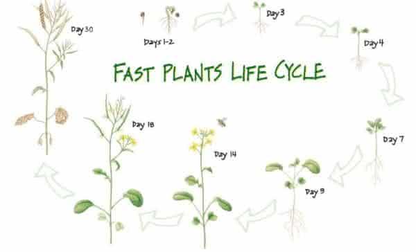 Wisconsin Fast Plants entre as plantas que crescem mais rapido no planeta