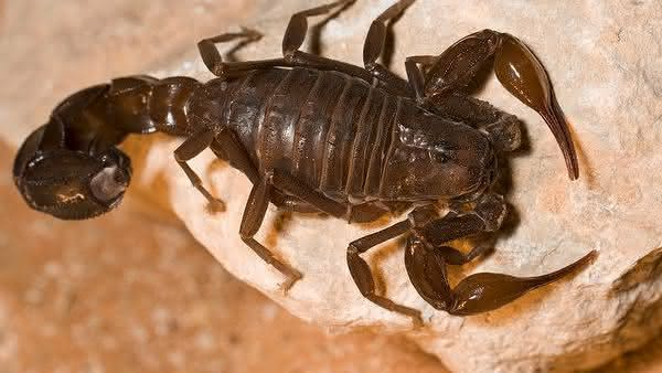Arabian Fattailed Scorpion entre os escorpioes mais perigosos do mundo