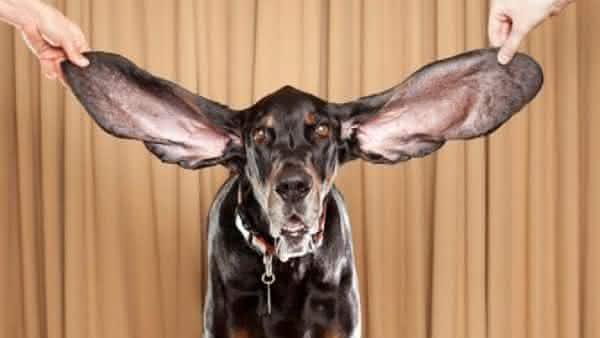 cao orelha mais longa entre os recordes feitos por animais