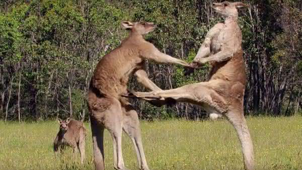 canguru entre os assassinos mais brutalmente sociopatas da natureza